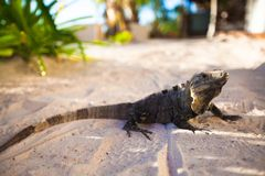 Close-up of monitor lizard on sand in exotic Stock Images