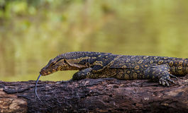 Close Up Monitor Lizards Royalty Free Stock Photo