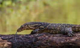 Close up Monitor lizards. (Varanus varius) taking sunbathe nature at Khaoyai national park,Thailand royalty free stock photo
