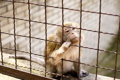Close up of monkey Royalty Free Stock Photography