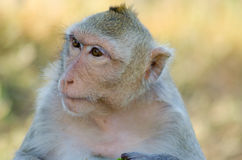 Close-up monkey. Looking to leaf side Stock Photos