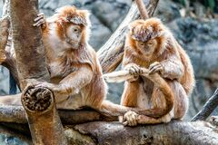 Close-up of Monkey Royalty Free Stock Images
