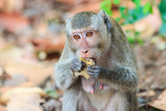 Close-up of Monkey (Crab-eating macaque) eating fruit Royalty Free Stock Photography