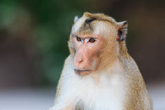 Close-up of Monkey (Crab-eating macaque) Royalty Free Stock Images
