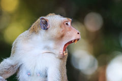 Close-up of Monkey (Crab-eating macaque) Royalty Free Stock Photos