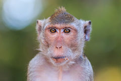 Close-up of Monkey (Crab-eating macaque) Stock Photo