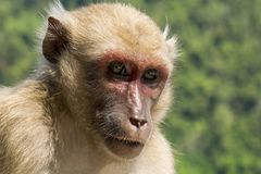Close up monkey face and focus into the eye Royalty Free Stock Photo