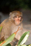 Close up of monkey hiding behind plants Royalty Free Stock Photo