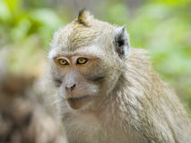 Close-up monkey in jungles Royalty Free Stock Photography