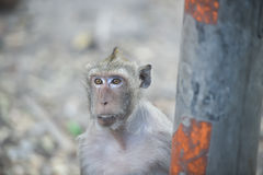 Close up monkey looking something from the car , monkey thailand Stock Image