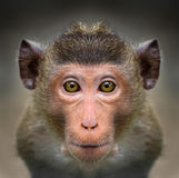 Close-up of monkey`s face Stock Image