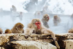Close-up of Monkey on Snow Royalty Free Stock Photography