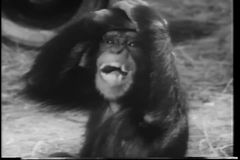 Close-up monkey yelling stock video