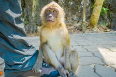 Close up of monkeys macaques crab-eaters lat. Macaca fascicularis sitting on human feet, area of buddhist monastery stock image