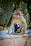 Close up of monkeys macaques crab-eaters lat mom with his baby. Macaca fascicularis, area of buddhist monastery Tiger. Cave Temple Stock Photo