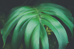Close-up of monstera leaves texture in dark background - vintage Royalty Free Stock Photography