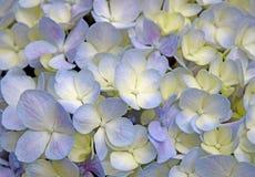 Close-up mooie bloemen achtergrond purper-Gele hydrangea hortensiabloemen Royalty-vrije Stock Fotografie
