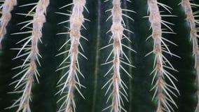 Close-up mooie cactus in natuurlijk licht Stock Afbeeldingen