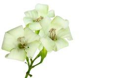 Close-up mooie witte bloemen op een witte achtergrond Royalty-vrije Stock Foto