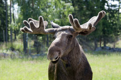 Close up of a moose Royalty Free Stock Image
