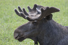 Close up of a moose Stock Photography