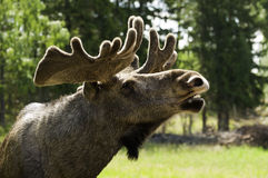 Close up of a moose Royalty Free Stock Photography