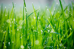 Close-up of morning dew on green grass Royalty Free Stock Image