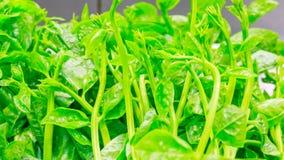 Close-up morning glory Royalty Free Stock Photos