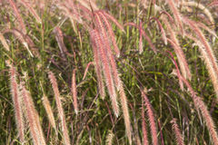 Close up of morning light onl dry  flower grass. Royalty Free Stock Image