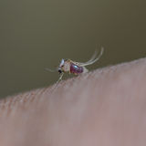Close up of mosquito. During blood sucking Royalty Free Stock Photography