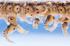 Mosquito pupae Stock Image