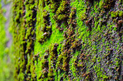 Close up of moss Royalty Free Stock Photography
