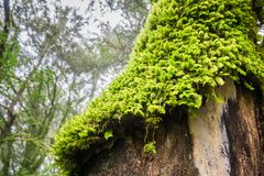 Close up of moss covered tree on a foggy day, Castle Rock State park, San Francisco bay area, California royalty free stock image