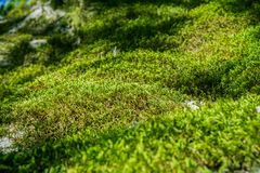 Close up of moss covering rocks in Castle Rock State Park, Santa Cruz mountains, San Francisco bay area, California stock photos