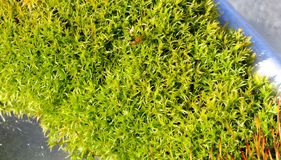 Close up of moss. Royalty Free Stock Images