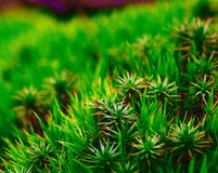 Close up of moss Royalty Free Stock Images