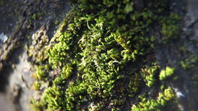 Close up of moss on the tree. stock video footage