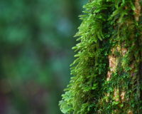 Close up moss on tree , Thailand Royalty Free Stock Photo