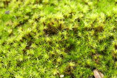 Close up of moss. Close up of moss is use as background Royalty Free Stock Photos