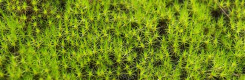Close up of moss. Close up of moss is use as background Stock Photography