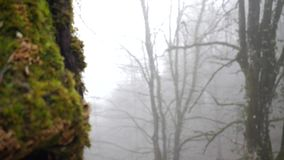 Close-up of mossy tree and misty forest. Beautiful variety of mosses overgrown on trees on background of mysterious fog. In autumn forest stock footage
