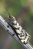 Close up of Moth on a branch. A moth camouflaged against a branch royalty free stock photography