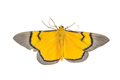 Close up of moth Royalty Free Stock Images