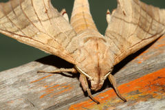 Close up of moth,night butterfly Stock Photography
