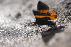 Close up of moth puddling on the ground in nature Royalty Free Stock Photo