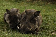 Close up of mother and baby wart hogs in Zimbabwe Royalty Free Stock Image
