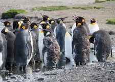 Close Up of Molting King Penguins. A group of molting adult king penguins with some standing in water to stay cool. Thousands of feathers are on the ground