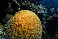 Close-up of a mound of brain coral growing on the coral reef Royalty Free Stock Photo