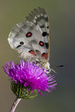 Close up of a Mountain Apollo (parnassius apollo) Stock Image
