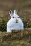 Close up of Mountain Or Arctic Hare Stock Photos